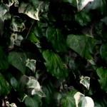 1-variegated-ivy-background